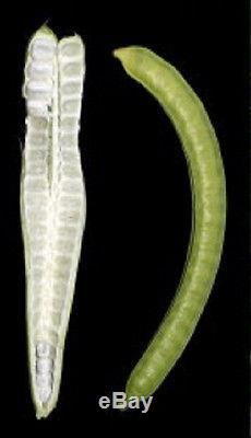 PACAY ICE CREAM BEAN Inga feuilleei FRUIT TREE Monkey Tamarind larg Potd Plant